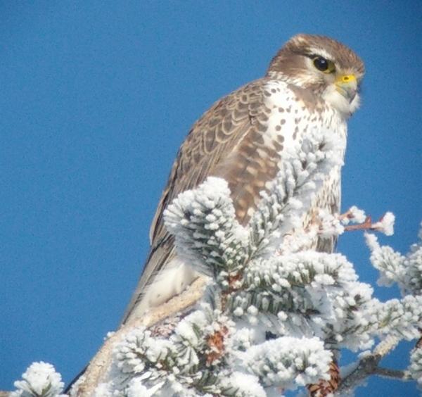 Prairie Falcon, Cawston, BC; 30 December 2012