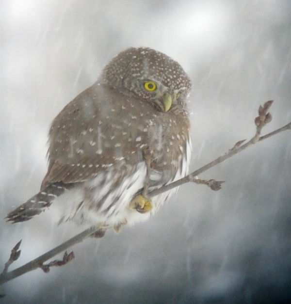 Northern Pygmy-Owl, Anarchist Mtn., BC; 5 January 2013 (taken with phone camera through telescope)