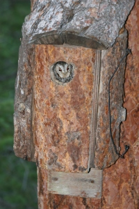 A female Flammulated Owl looks out of a nest box.  This box was made with a plan similar to the one presented below; bark slabs were added for a more natural look at the end.
